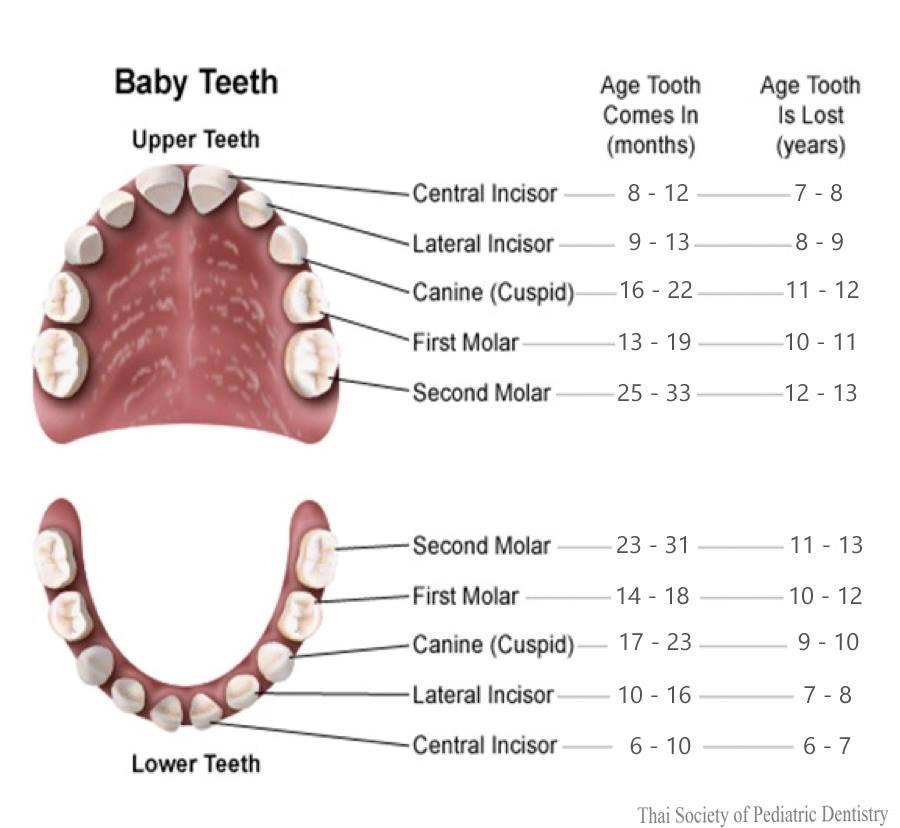 ความสำคัญของฟันน้ำนม